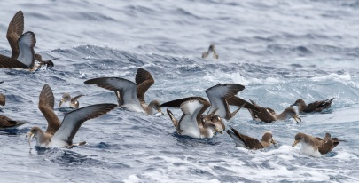 Cory's Shearwaters feeding next to fishing boat, in Mediterranean