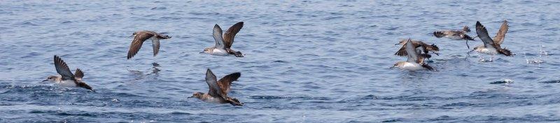 Nuevo Seabird Task Force de BirdLife en Europa: el punto de vistamediterráneo