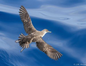 New population estimates for the Balearic shearwater: Should we let down our guard?
