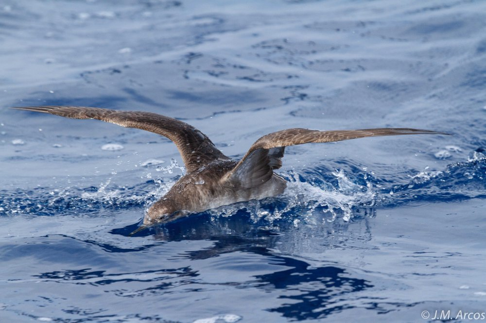 Balearic shearwater seeking discards behind a fishing vessel