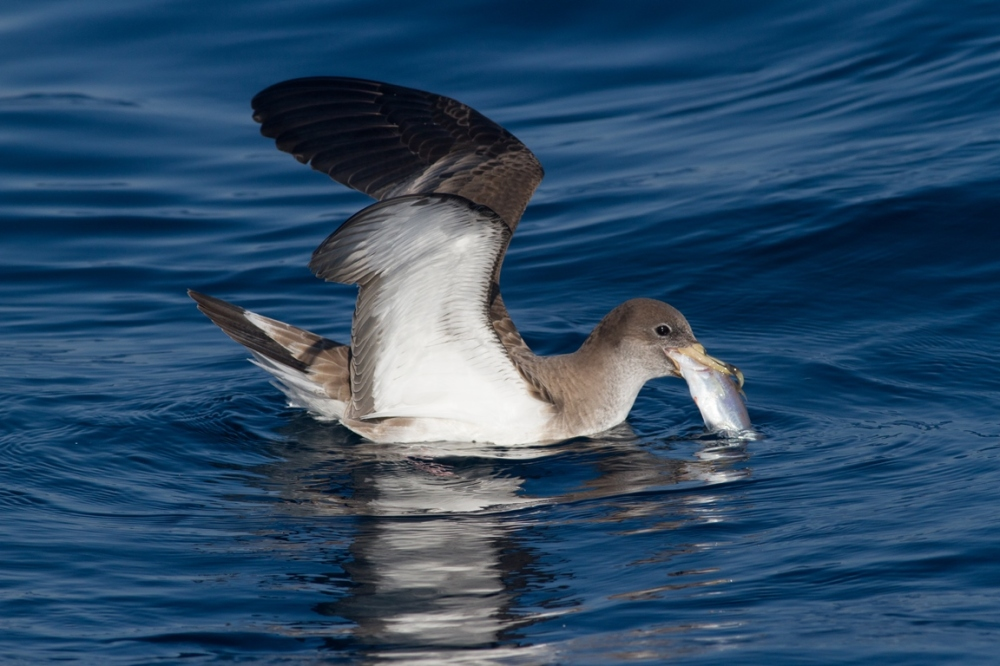 Cory's shearwater Calonectris diomedea eating discarded fish from a demersal Long-liner