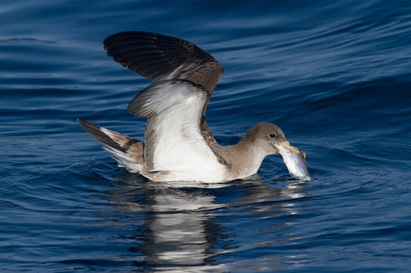 Primeros datos de captura accidental recogidos por los observadores del Seabird Task Force en España